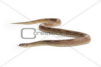 Apalachicola Kingsnake Isolated on White