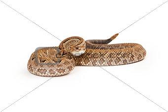 Aruba Rattlesnake Ready to Strike