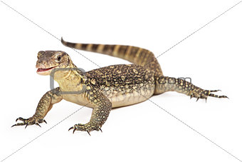 Asian Water Monitor Open Mouth Isolated