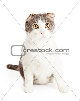 Attentive And Cute Domestic Shorthair Mixed Breed Cat