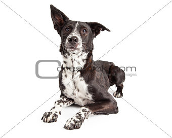 Attentive Australian Shepherd Mixed Breed Dog Laying