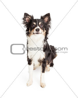 Attentive Chihuahua Mixed Breed Dog Sitting
