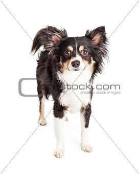 Attentive Chihuahua Mixed Breed Dog Standing