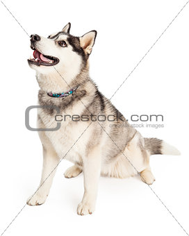 Attentive Siberian Husky Dog Sitting At An Angle