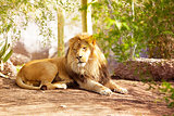 Beautiful African Lion Laying in Jungle