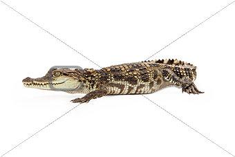 Beautiful Baby Siamese Crocodile