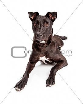 Beautiful Black Labrador Mixed Brred Dog