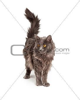 Beautiful Grey Color Long Hair Cat