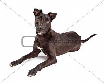 Beautiful Large Labrador Retriever Crossbreed Dog