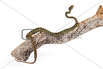 Beautiful Pit Viper Crawling Up Branch