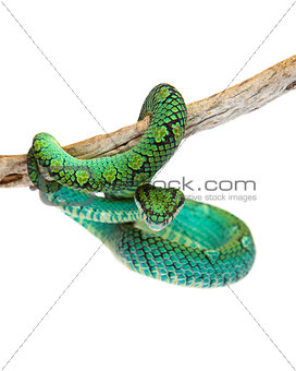 Beautiful Sri Lankan Palm Viper