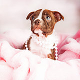 Boston Terrier Puppy in Pink Blanket Wearing Pearls