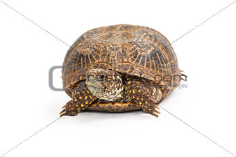 Box Turtle Front View