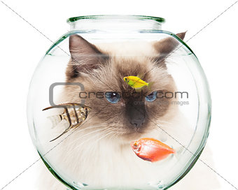 Cat Looking Into Bowl of Pet Fish