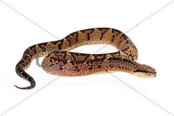 Central American Bushmaster Snake Looking To Side