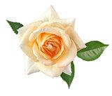 rose fujisan forever