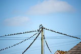 flock of starling birds on the wires and roofs