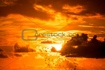 flock of starlings flying into a bright orange sunset