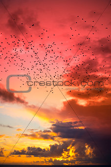 flocks of starlings flying into a red yellow sunset sky