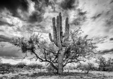 Saguaro and Mesquite Nurse Tree