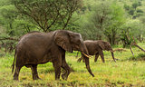 Elephants walking, Serengeti, Tanzania, Africa
