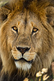 Close-up of a Lion, Serengeti, Tanzania, Africa