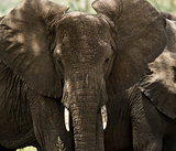 Close-up of a herd of elephants, Serengeti, Tanzania, Africa