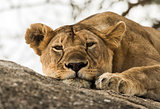 Close-up of a lioness resting on rock, Serengeti, Tanzania, Afri