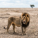 Dirty lion standing in the savannah, Serengeti, Tanzania, Africa