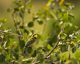 Little bee-eater, Merops pusillus, perched on a branch, Serenget