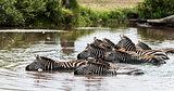 Zebra drinking in the river, Serengeti, Tanzania, Africa