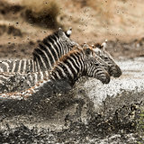 Zebra galloping in the river, Serengeti, Tanzania, Africa
