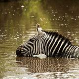 Zebra drinking in a river, Serengeti, Tanzania, Africa