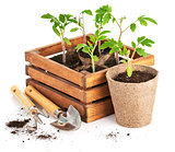Seedlings tomatoes in wooden box with garden tools