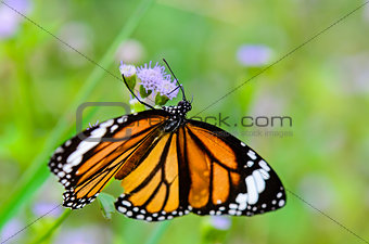 Close up Common Tiger or Danaus genutia butterfly