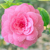 Flower of japanese camellia.