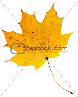 Beautiful golden maple leaf
