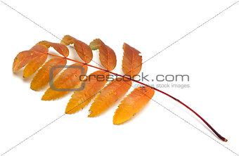 Autumn rowan leaf on white background