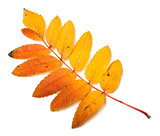 Multicolor autumn rowan leaf