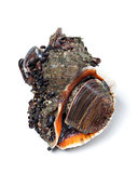 Veined rapa whelk on white background