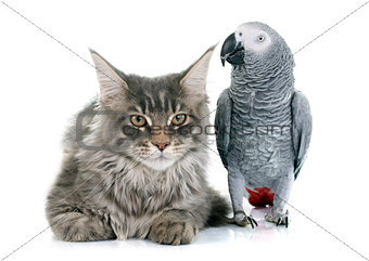 African grey parrot and cat