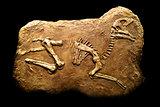 Hadrosaurus Fossil