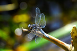 Dragonfly (Libellula depressa) close-up sitting on a branch