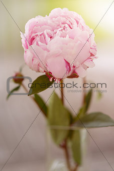 Attractive Pink Peony Flower Plant on a Stem