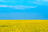 beautiful yellow blooming canola field