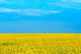 beautiful yellow blooming canola field