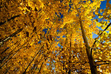 Autumn colors of birch trees, south island, New Zealand