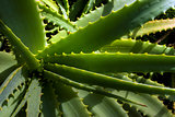 Close-up wild Aloe Vera plant