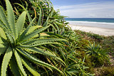 Wild Aloe Vera plant at the beach