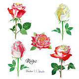 Roses watercolor flowers